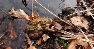 Erdkrötenpaar 01 - Kröte, Erdkröte, nachtaktiv, Amphibie, Froschlurch, Feldkröte, braun, wechselwarm, glitschig, erdfarben, Feuchtraumgebiet, Märchen, Teich, Umweltschutz, Tarnung, Blick