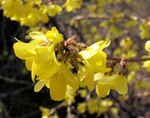 Forsythie 2 - Forsythie, Forsythien, Strauch, Zierstrauch, Busch, Frühling, Frühjahr, Blüte, Blüten, gelb