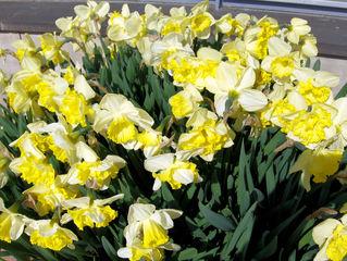 Narzisse 2 - Narzisse, Narzissen, Osterglocken, Blüte, Blüten, Blume, Ostern, Frühjahr, Frühling, gelb, weiß