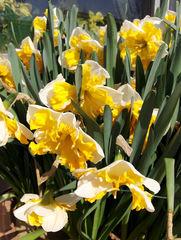 Narzisse 3 - Narzisse, Narzissen, Osterglocken, Blüte, Blüten, Blume, Ostern, Frühjahr, Frühling, gelb, orange