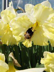 Narzisse 4 - mit Hummel - Narzisse, Narzissen, Osterglocken, Blüte, Blüten, Blume, Ostern, Frühjahr, Frühling, gelb, orange, Hummel, Insekt