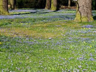 Blaustern #1 - Blaustern, Scilla, Szilla, Frühling, Frühjahr, Frühblüher, blau, Park, Blüten