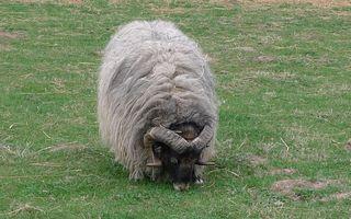 Heidschnucke #1 - Heidschnucke, Schafe, grau, gehörnt, Hörner, Schafsrasse, Schaf
