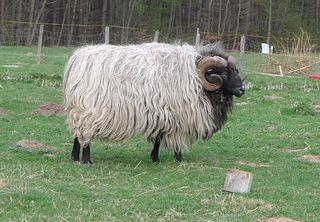 Heidschnucke #2 - Heidschnucke, Schafe, grau, gehörnt, Hörner, Schafsrasse, Schaf