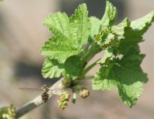 Schwebfliege #2 - Schwebfliege, Johannisbeere, Insekten, Fliege, wespenartig, Syrphidae, Schwebfliege, Zweiflügler, Deckelschlüpfer, Fluginsekt, Mimikry, Insekt, Bestäuber