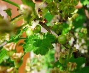 Johannisbeerfrucht - Johannisbeere, Ribes, Ribisel, Träuble, Meertrübeli, Stachelbeergewächs, Beerenobst, Strauch, Laubblätter, unreif, Stempel, Staubgefäße