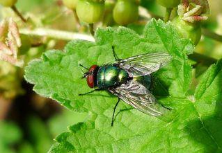 Goldfliege #1 - Fliege, Schmeißfliege, Lucilia caesar, Calliphoridae, Facettenaugen