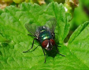 Goldfliege #2 - Fliege, Schmeißfliege, Lucilia caesar, Calliphoridae, Facettenaugen