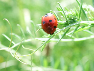 Marienkäfer - Käfer, Marienkäfer, Insekten, rot, Nützling