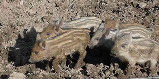 Wildschwein - Schweine, Paarhufer, Allesfresser, weltweit, Jagdwild, Frischlinge, Frischling, Wildschwein, Wildschweine, Eber, Bache
