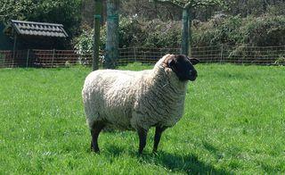 Schaf - mäh, Wolle, Schafe, Schaf, Gras, grasen, Beweidung, Nutztier, Wolle, weich, Milch, Fleisch, Paarhufer, Wiederkäuer