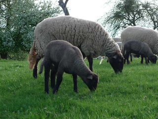 Schaf mit Jungtier - Schafe, Schaf, Gras, grasen, Beweidung, Nutztier, Wolle, weich, Milch, Fleisch, Paarhufer, Wiederkäuer, Herde