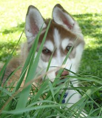 Hundewelpe #5 - Hund, Hundewelpe, aufwachsen, Siberian Husky, Schlittenhund