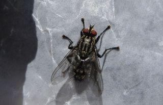Graue Fleischfliege #1 - Fliege, Fleischfliege, Sarcophaga carnaria, Insekten, Facettenaugen, Rüssel