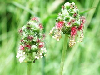 Kleiner Wiesenknopf Blüten - Kräuter, Pflanzen, Blumen, Blüten, Wiesenknopf, Blüte