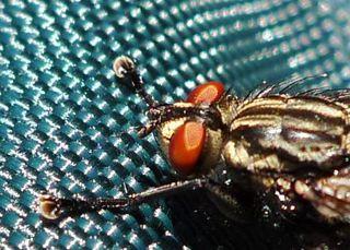 Graue Fleischfliege  #2 - Fliege, Fleischfliege, Sarcophaga carnaria, Insekten, Facettenaugen, Rüssel