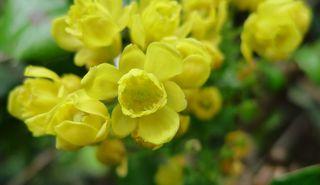 Mahonien  #3 - Mahonie, Blüte, Blütenstand, giftig, Berberitzengewächs, Strauch, Kelchblattkreise, Kronblattkreis, Gartenstrauch, Zierstrauch, Mahonia aquifolium