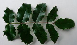 Mahonien  #5 - Mahonie, giftig, Berberitzengewächs, Strauch, Laubblatt, Gartenstrauch, Zierstrauch, immergrün, stechdornblättrig, unpaarig gefiedert, immergrün, Mahonia aquifolium