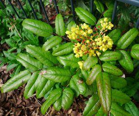 Mahonien  #6 - Mahonia aquifolium, Mahonie, giftig, Berberitzengewächs, Strauch, Laubblatt, Gartenstrauch, Zierstrauch, immergrün, stechdornblättrig, unpaarig gefiedert, immergrün