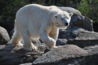 Eisbär - Eisbär, Raubtier, Säugetier, Polarbär, Sohlengänger, weiß, gefährlich