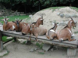 Ziegen - Ziegen, Ziege, Säugetiere, Brücke, Steg, Schreibanlass, Tiere, Gruppe, anders, ausruhen, Ruhe, Pause