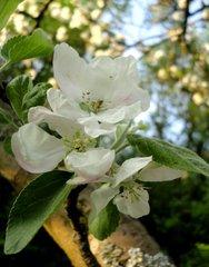 Apfelblüte - Apfel, Obstbaum, Blüte, weiß, Garten Obst