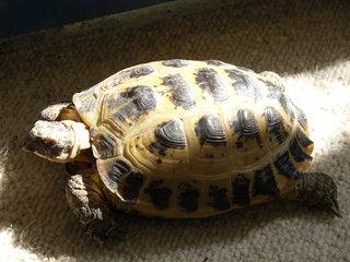 Schildkröte Paul - testudo horsfieldii, Landschildkröte, Steppenschildkröte, Schildkröte, Terrarium