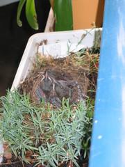 Amsel #1 - Vogel, Amsel, Jungtiere, Nest, Jungvögel