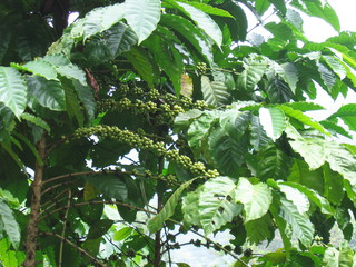 Kaffeepflanze - Kaffeebohne, Kaffeepflanze, Coffein, Rötegewächs, Strauch, Laubblätter, unreif, Kaffeefrüchte