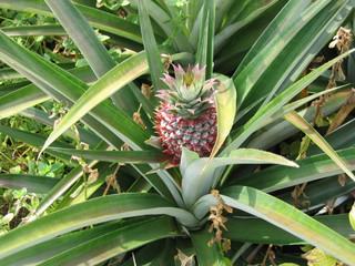 Ananas - Ananas, Tropen, Enzyme, Bromeliengewächs, Bodenwürzler, zapfenförmig, Fruchtverband