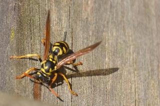 Wespe - Wespe, Tier, Insekt, Vespula, Warnfarbe