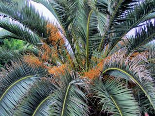 Kanarische Dattelpalme - Fruchtstand #1 - Palme, Dattelpalme, Kanarische Inseln, Pflanze, Palmengewächs, Früchte, Fruchtstand, Palmwedel