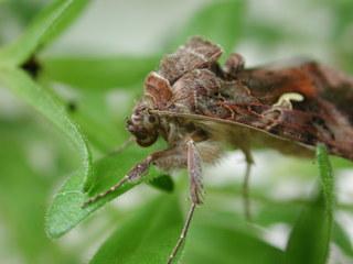 Nachtfalter von der Seite - Falter, Nachtfalter, Motte, Insekt