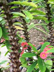Christusdorn #2 - Christusdorn, Christdorn, Euphorbia, Wolfsmilchgewächs, Dornen, Blüten, rot, Pflanze, giftig
