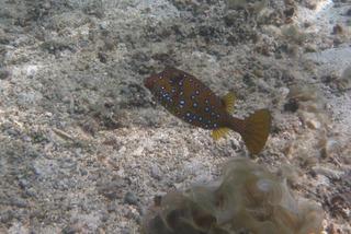 Kofferfisch Mauritius - Kofferfisch, Ostracion cubicus, Fisch, Riff, Kugelfischverwandte
