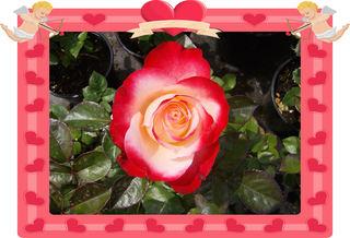 Eine Rose - Rose, Effektbild, Blume, Blüte, Valentinstag