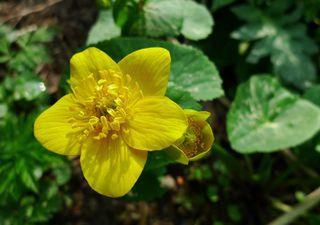 Sumpfdotterblume #1 - Sumpfdotterblume, Hahnenfußgewächs, Sumpfpflanze, gelb, Dotterblume, Sumpf, dottergelb, gefährdete Art, Giftpflanze