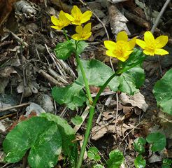 Sumpfdotterblume #2 - Sumpfdotterblume, Hahnenfußgewächs, Sumpfpflanze, gelb, Dotterblume, Sumpf, dottergelb, gefährdete Art, Giftpflanze