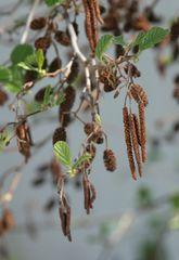 Erle #1 - Erle, Schwarzerle, Birkengewächs, Alnus, Betulaceae, einhäusig