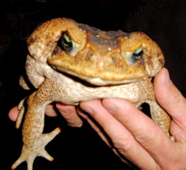 Aga-Kröte - Aga-Kröte, Kröte, Frosch, Lurch, Amphibie, Bufo marinus, dick, quaken, giftig, Südamerika, Australien