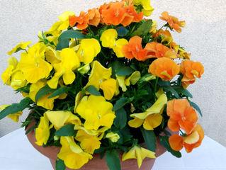 Stiefmütterchen #1 - Stiefmütterchen, Veilchen, Viola, gelb, orange, Blütenblätter, Blüte, Gartenpflanze, Blume, blühen, Frühling