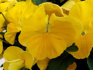 Stiefmütterchen #2 - Stiefmütterchen, Veilchen, Viola, gelb, Blütenblätter, Blüte, Gartenpflanze, Blume, blühen, Frühling