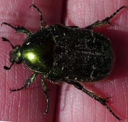 Goldkäfer - Käfer, grün, schillernd, Insekt, glänzen, Cetonia aurata