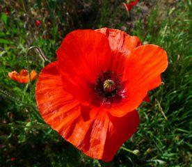 Mohnblüte - Mohn, Klatschmohn, Wiesenblume, Mohnblume, Knospe, rot