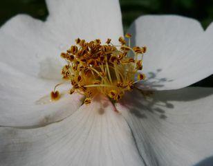Rose - Rose, Schnittblume, Knospe, Rosengewächs, Rosenblüte, Staubgefäße