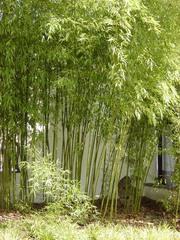 Bambus - Bambus, Pflanze, Süßgräser, Stamm, verholzt