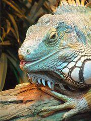 Leguan # 1 - Leguan, Grüner Leguan, Iguana iguana, Mittelamerika, Kriechtier, Schuppen, schuppig, tagaktiv, Pflanzenfresser, Terrarium