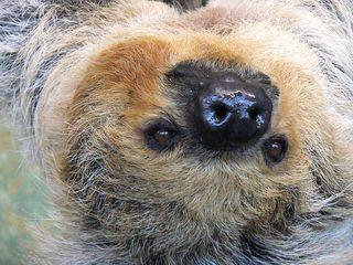 Faultier#1 - Faultier, Säugetier, Zoo, Faulheit, faul, langsam, Ruhe, Gelassenheit, erholen, Gesicht, Augen, Nase