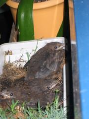 Amsel #3 - Vogel, Amsel, Jungtier, Nest, Jungvögel