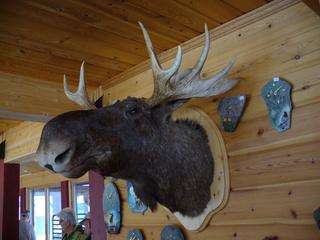 Elch - Tier, Elchkopf, Elch, Tierpräparat, Geweih, Norwegen, Jagd, Trophäe